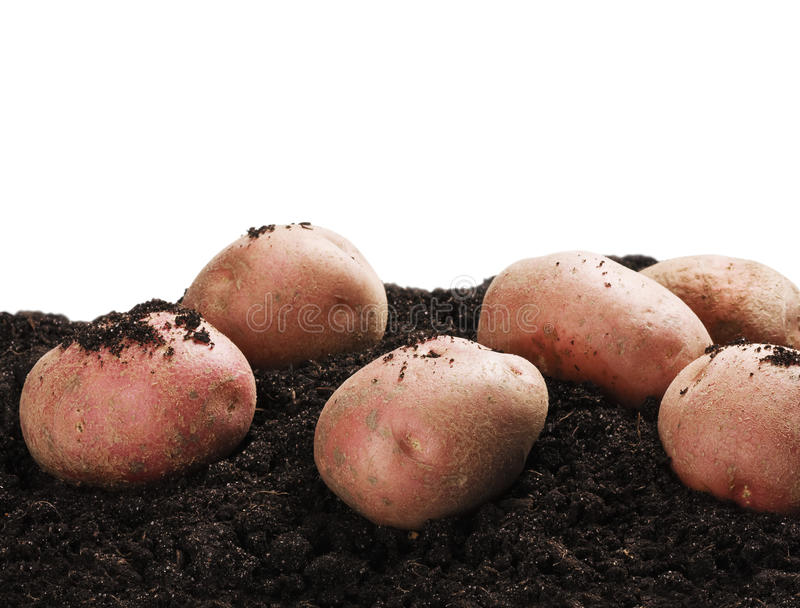 Dug potatoes on the ground. On a white background royalty free stock image