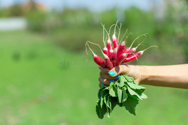 Only dug up fresh radish with green tails in hand. Ingredients for delicious summer salads. Agriculture Concept.  royalty free stock images