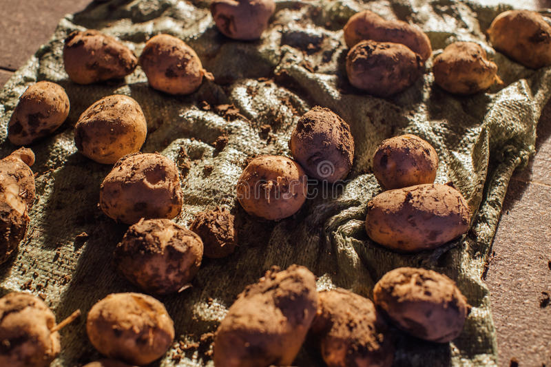 Dug up organic garden potatoes. Photo in the daytime stock images