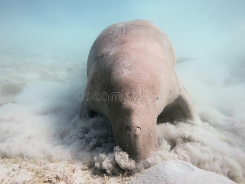 Dugong dugon Η αγελάδα θάλασσας στοκ φωτογραφία με δικαίωμα ελεύθερης χρήσης