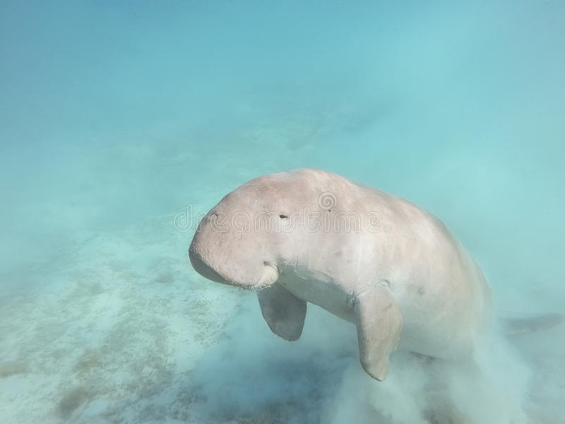 Dugong dugon Η αγελάδα θάλασσας στοκ φωτογραφία