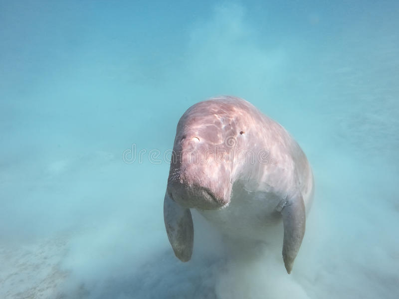 Dugong dugon Η αγελάδα θάλασσας στοκ φωτογραφίες με δικαίωμα ελεύθερης χρήσης