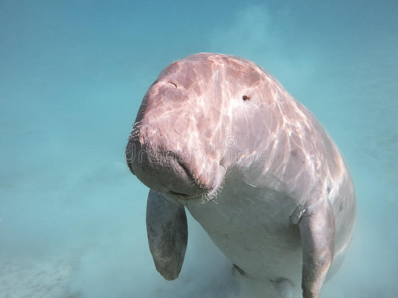 Dugong dugon Die Seekuh stockfoto