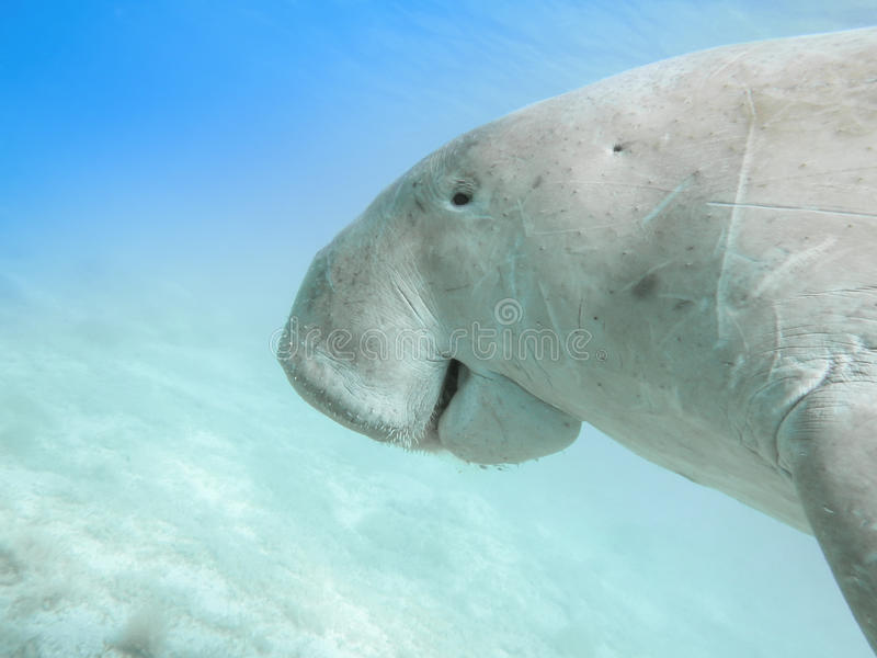 Dugong dugon Havskon royaltyfri bild