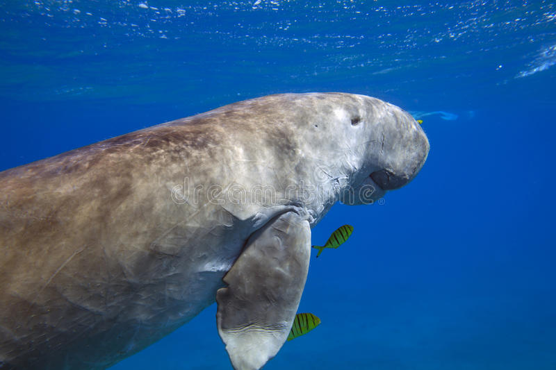 Dugong dugon sea cow floating in sea. Dugong dugon sea cow floating in water column in Red Sea, Marsa Alam, Egypt royalty free stock photography