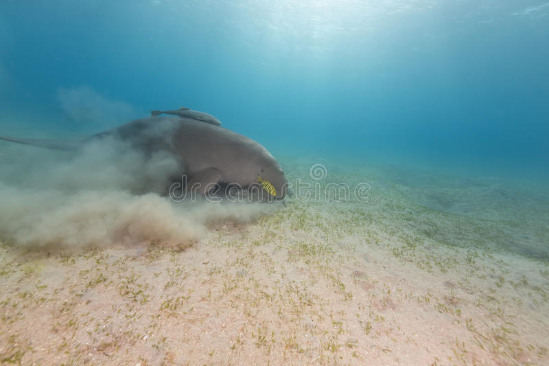 Dugong (dugong dugon) or seacow in the Red Sea. Dugong (dugong dugon) or seacow in the Red Sea royalty free stock photography