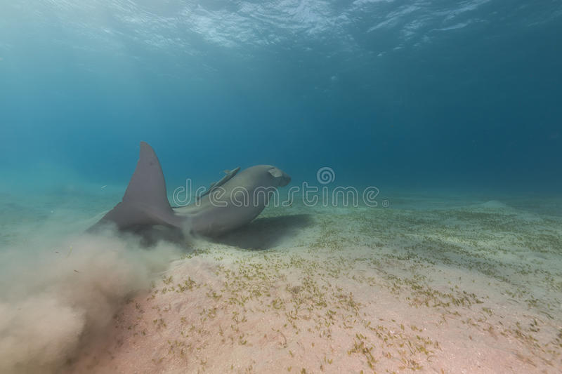 Dugong (dugong dugon) or seacow in the Red Sea. Dugong (dugong dugon) or seacow in the Red Sea royalty free stock image