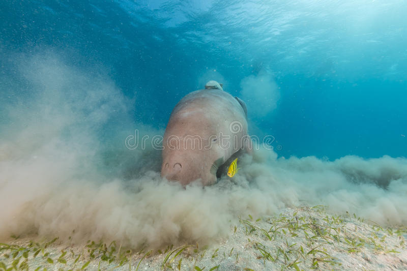 Dugong (dugong dugon) or seacow in the Red Sea. Dugong (dugong dugon) or seacow in the Red Sea royalty free stock images
