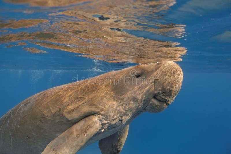 Dugong dugonseacow eller slut för havsko upp simning i vändkretsen arkivbild