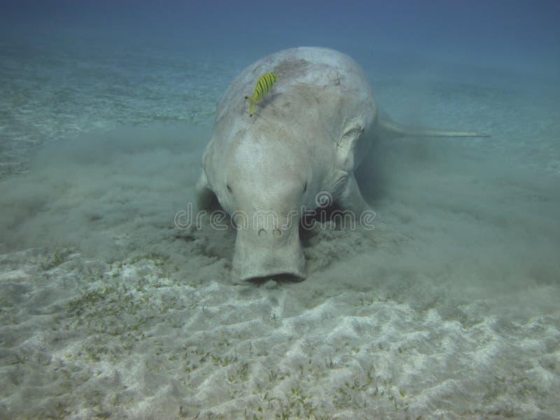 Dugong on the sea bottom. Dugong on the sandy sea bottom stock photos