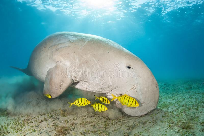 Dugong in a sea grass meadow surrounded by yellow pilot fish. Red Sea, Egypt stock photo