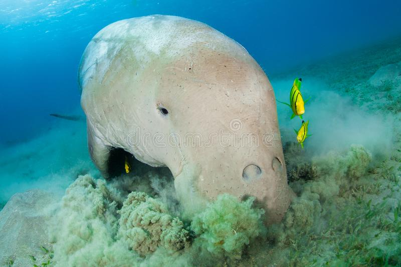 Dugong surrounded by yellow pilot fish. Endangered Dugong surrounded by yellow pilot fish, Red Sea, Egypt stock photo
