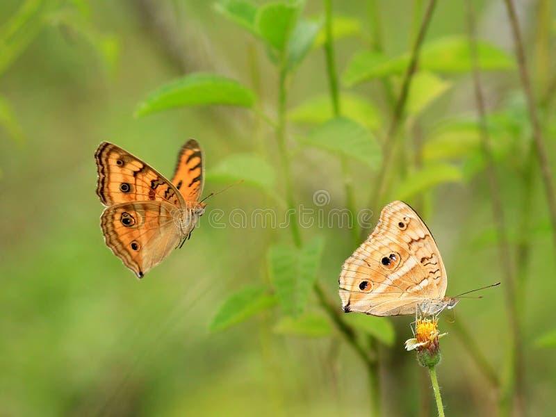Duidelijke tijgervlinder stock foto's