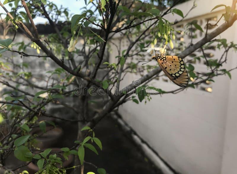 Duidelijke tijgervlinder, Danaus-chrysippus op witte bloem en groen blad royalty-vrije stock foto