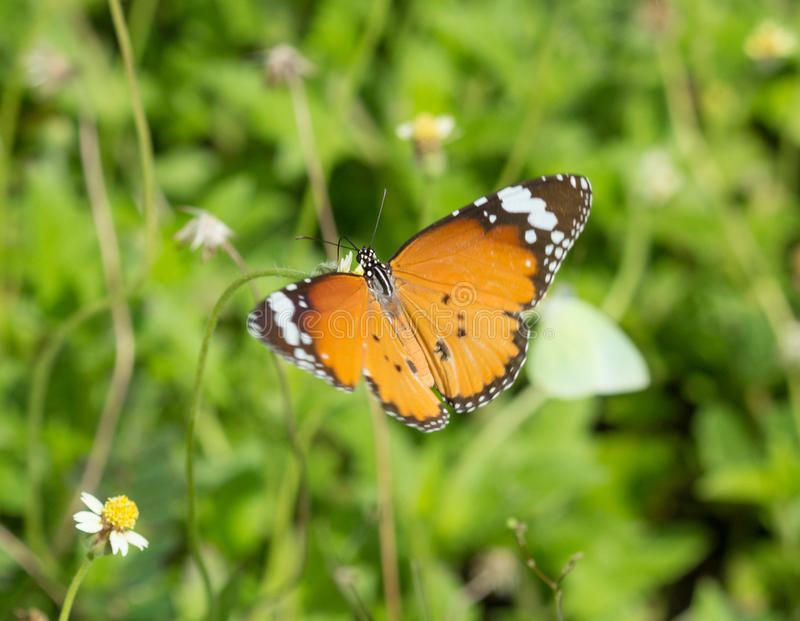 Duidelijke Tijgervlinder (Danaus-chrysippusvlinder) op een bloem royalty-vrije stock fotografie