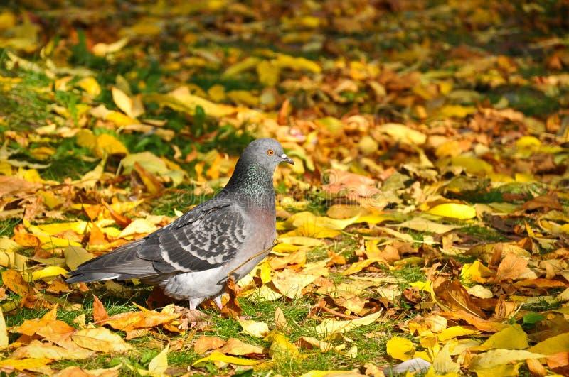 Duif in de herfst stock afbeelding
