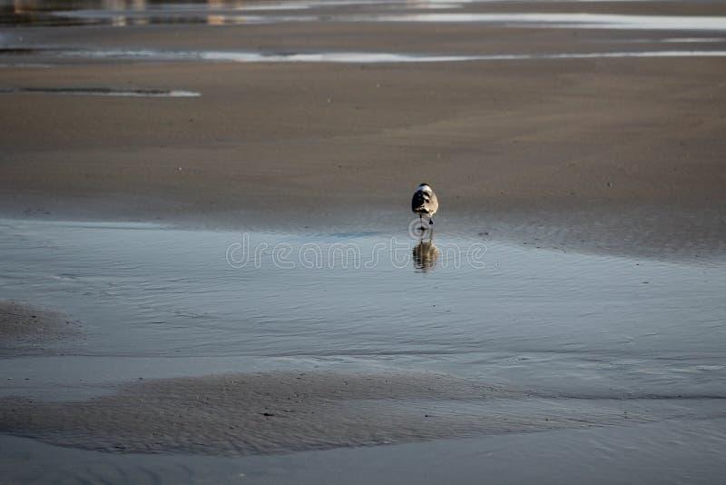 Duif die een leeg strand lopen royalty-vrije stock foto's