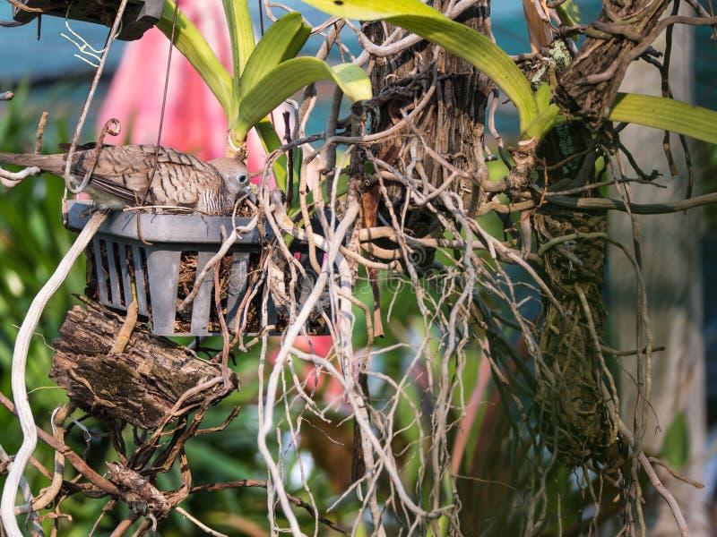 Duif die in een Tuin nestelen stock fotografie