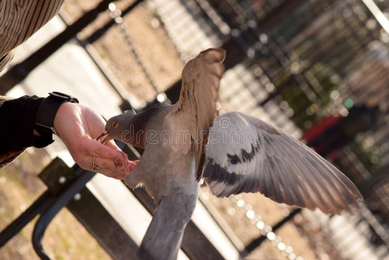 Duif die Graan van een Vrouwen` s Hand eten stock fotografie