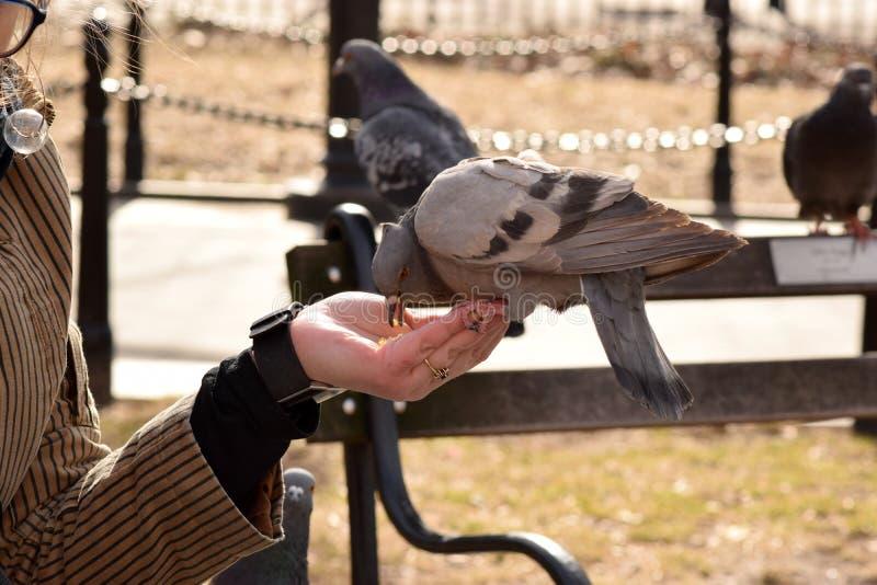 Duif die Graan van een Vrouwen` s Hand eten stock afbeelding