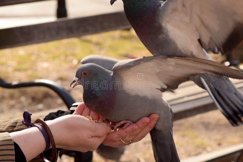 Duif die Graan van een Vrouwen` s Hand eten royalty-vrije stock foto