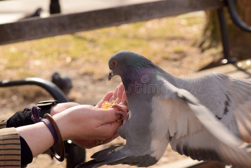 Duif die Graan van een Vrouwen` s Hand eten stock foto