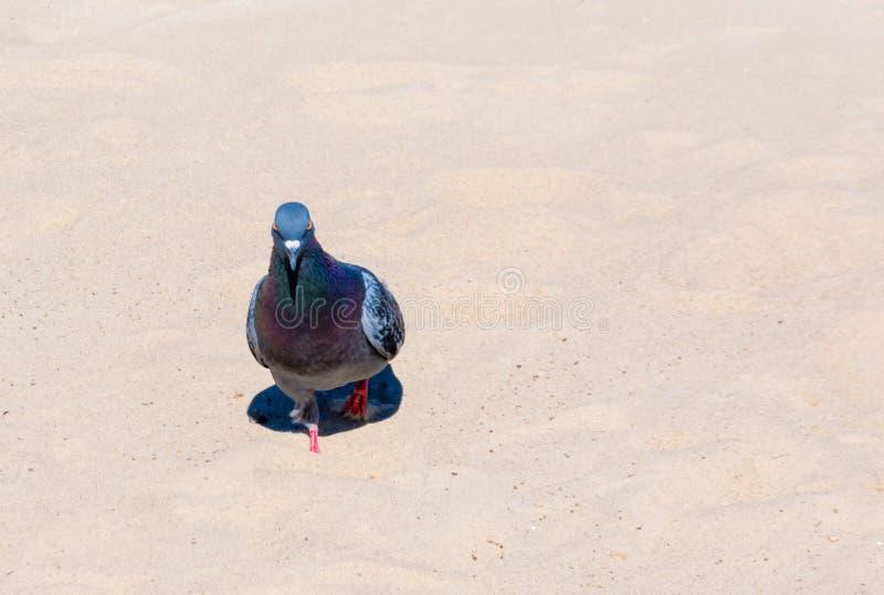 Duif die in het zand op een zonnige dag lopen stock afbeelding