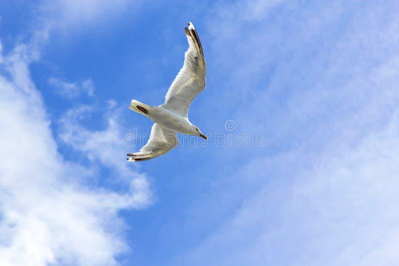 Duif die onder blauwe hemel met wolken vliegen stock foto