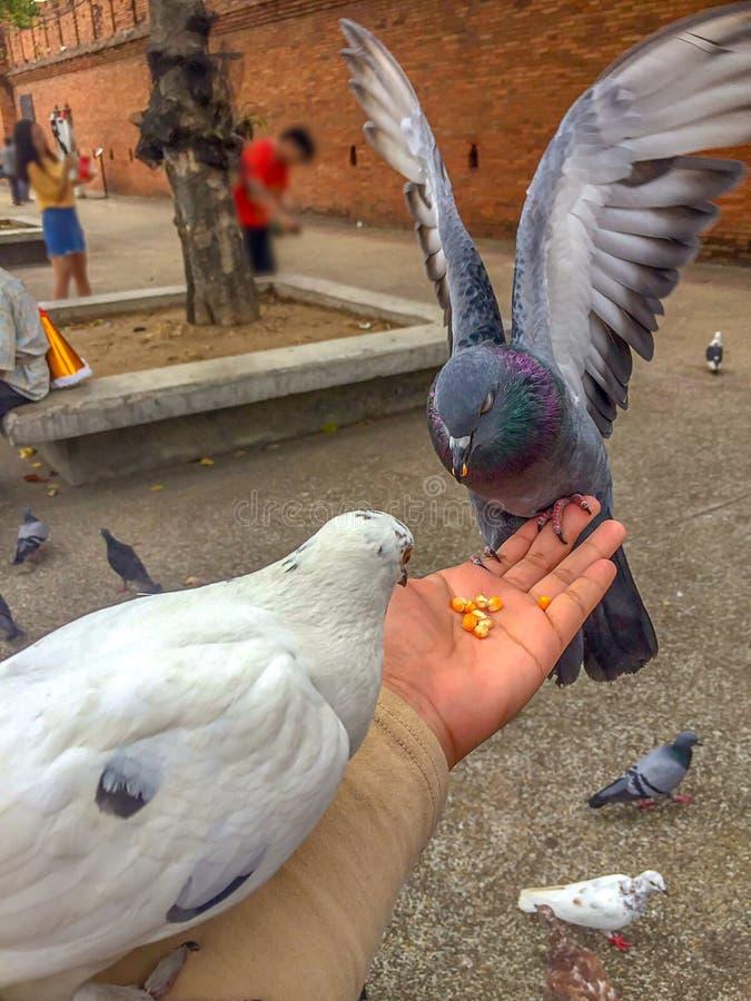 Duif die voer eten die zich op menselijke hand bevinden stock afbeeldingen