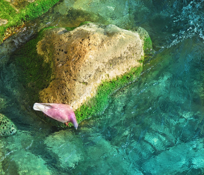 Duif drinkwater van de steen stock foto