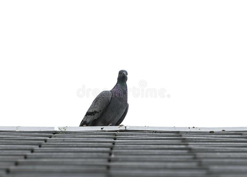 Duif of duifvogels op daktegel stock afbeelding