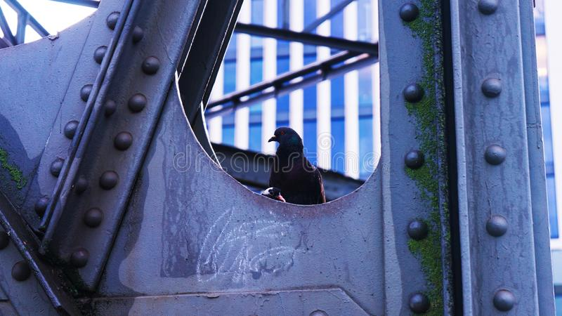 Duif en nestvogelkuiken op de brugstad stock foto's