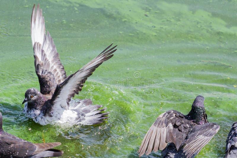 Duif het baden in vervuild water stock afbeeldingen