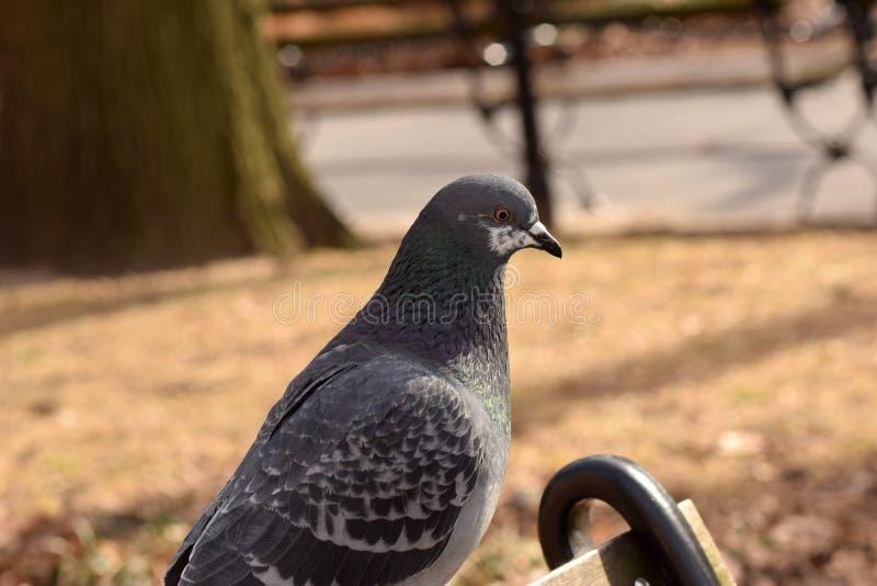 Duif in het Park wordt neergestreken dat royalty-vrije stock fotografie