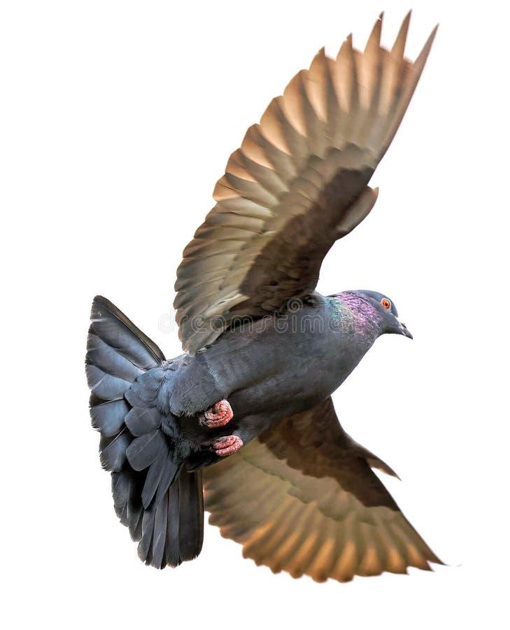 Duif met opgeheven vleugels stock afbeeldingen