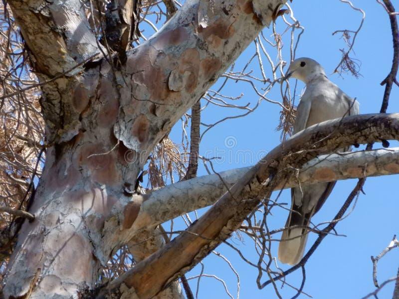 duif op de boom stock foto's