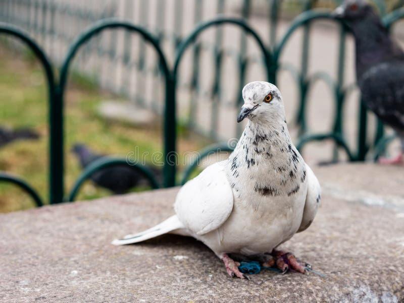 Duif op een parkbank die wordt neergestreken royalty-vrije stock foto's
