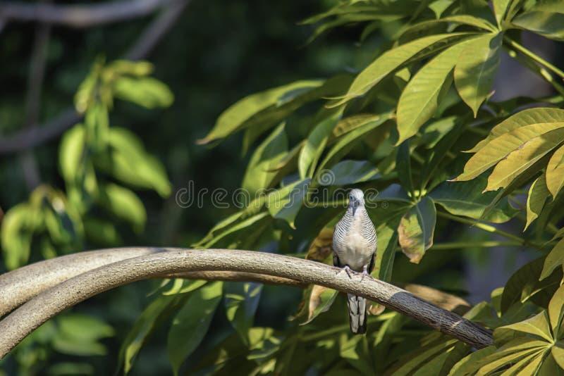 Duif op groene bladeren tak als achtergrond in de tuin stock foto