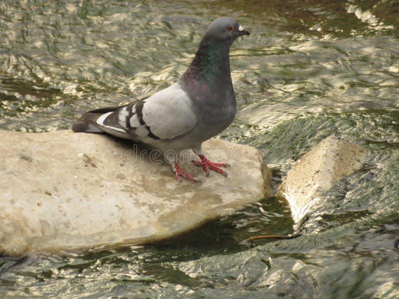 Duif op rots in de rivier die rust nemen royalty-vrije stock foto