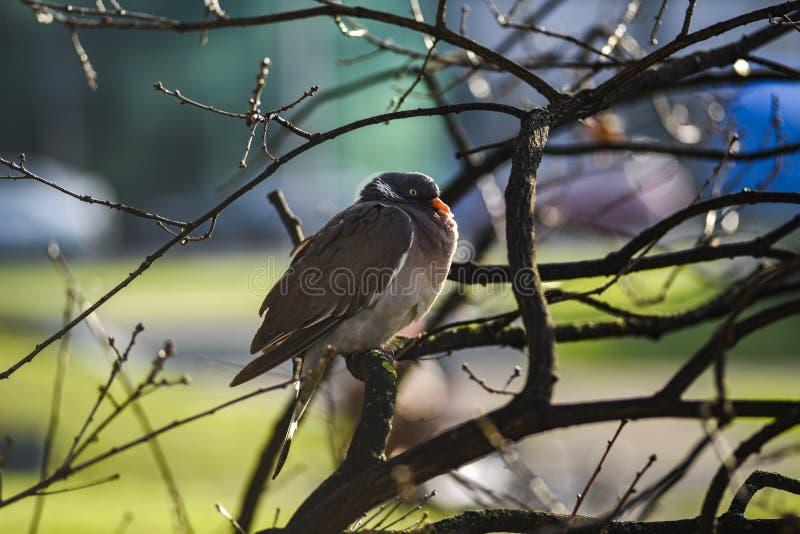 Duifzitting op een boomtak op een zonnige de herfstdag royalty-vrije stock afbeelding