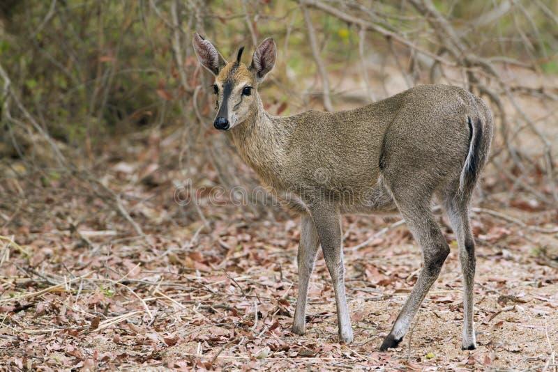 Duiker común en el parque nacional de Kruger imagen de archivo libre de regalías