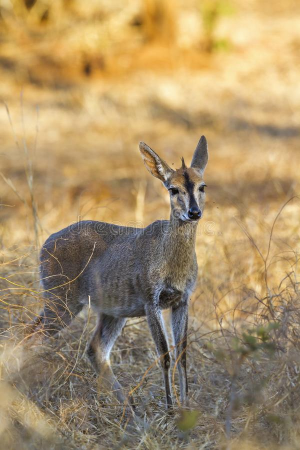 Duiker comune nel parco nazionale di Kruger, Sudafrica fotografia stock libera da diritti