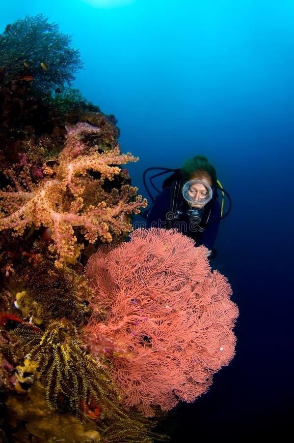 Duiker en Gorgonia koraal Indonesië Sulawesi royalty-vrije stock afbeelding