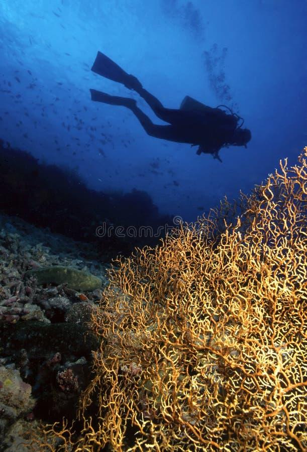 Duiker en Gorgonian stock fotografie