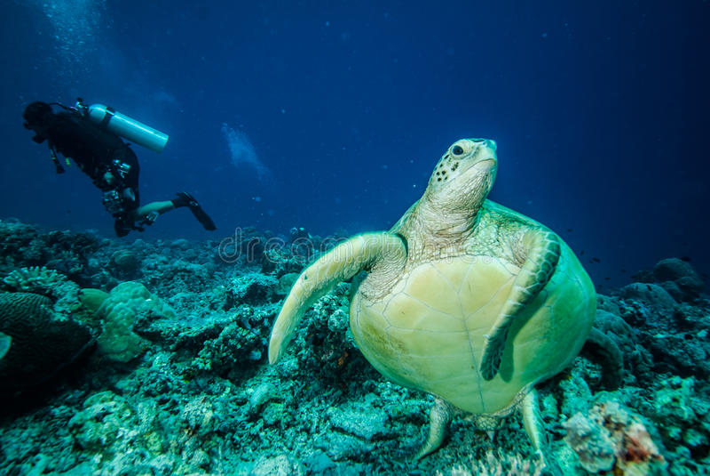 Duiker en groene zeeschildpad stock foto's
