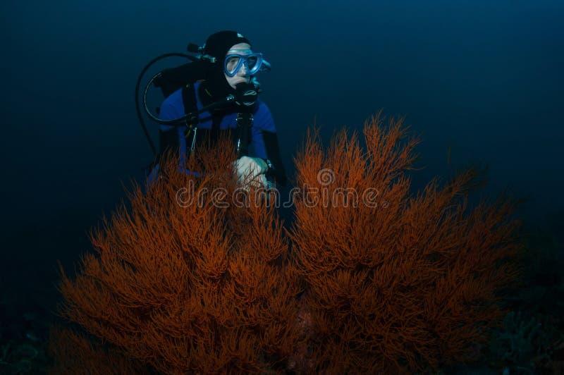 Duiker en koraal stock foto
