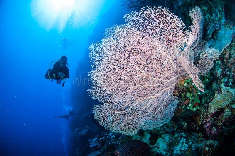 Duiker en overzeese ventilator in Banda, de onderwaterfoto van Indonesië stock foto's