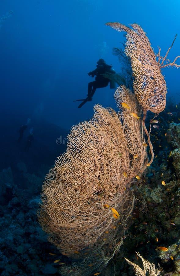 Duiker met gorgonia royalty-vrije stock foto