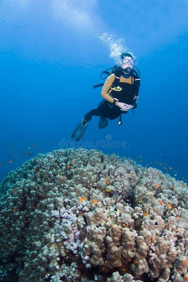 Duiker over koraal stock fotografie