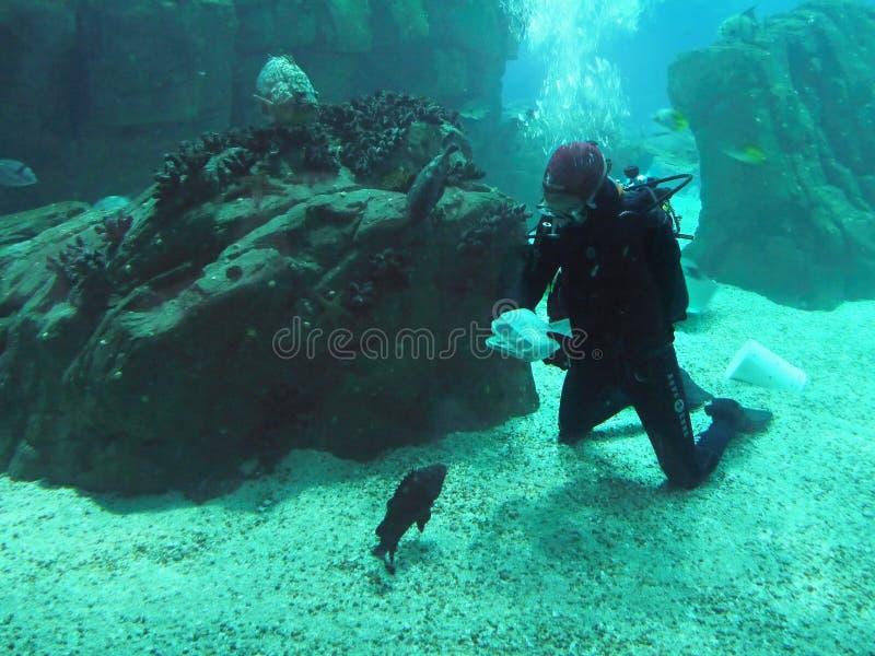 Duiker in Overzeese Wereld, Onderwaterertsader stock afbeelding